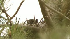 Black Squirrel in Nest - stock footage