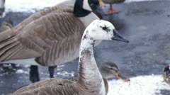 White Canadian Goose Snowing Stock Footage