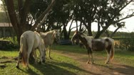Horses tied to a tree Stock Footage