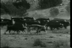 Wide shot cattle stampede Stock Footage
