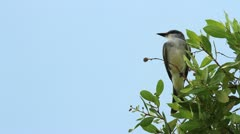 Gray King Bird Antigua Stock Footage
