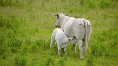 Cow with young 2 Stock Footage