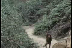Monkey walking down path Stock Footage