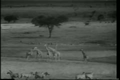 Montage African wildlife on the prowl Stock Footage