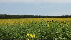 Sunflowers in the vicinity of Berlin, Germany Stock Footage