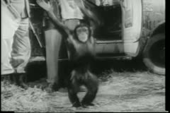 Wide shot happy monkey dancing  by safari truck Stock Footage
