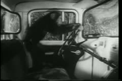 Monkey playing with steering wheel inside car Stock Footage