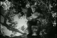 Monkey in tree clapping Stock Footage