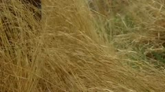 Yellow Grass Stock Footage