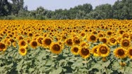 Stock Video Footage of Sunflowers in a field