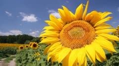 Sunflowers in a field Stock Footage