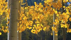 Golden Aspen Leaves - stock footage