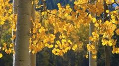 Golden Aspen Leaves Stock Footage