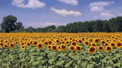 Sunflowers in a field - stock footage