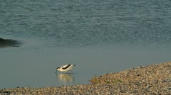 Common Tern and Pied Avocet Stock Footage