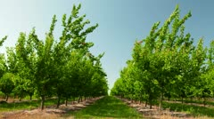 Apricot Orchard Stock Footage