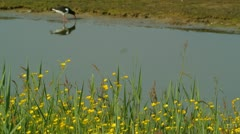 Buttercup flowers and Oystercatcher. - stock footage