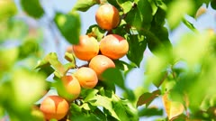 Apricots on Tree - stock footage