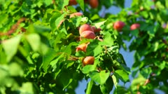 Harvest of Apricots Stock Footage