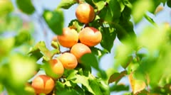 Apricots on Tree Stock Footage
