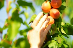 Picking Apricot from the Tree Stock Footage