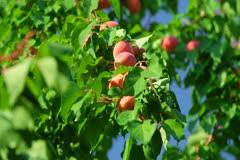 Ripe Apricots on Tree Stock Footage