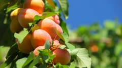 Apricot Tree Stock Footage