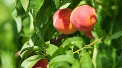 Ripe Peaches on the Tree Stock Footage