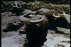 Water buffalo sitting in swamp Stock Footage