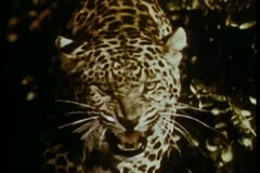 Close-up of growling leopard Stock Footage