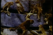 Monkeys climbing rock formation Stock Footage
