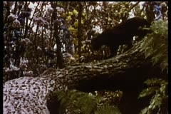 Panther climbing down tree Stock Footage