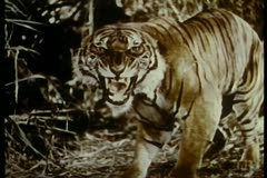 Growling tiger in the jungle Stock Footage