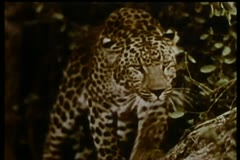 Two leopards on the prowl Stock Footage
