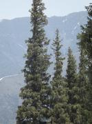 Graceful fir tree on background of the mountains Stock Photos