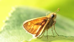 Small Skipper Butterfly (Thymelicus sylvestris) perched on a green leaf Stock Footage