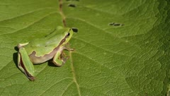 Green Tree Frog on a green leaf close-up / Hyla arborea - stock footage