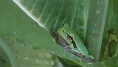 Green Tree Frog on a green leaf close-up / Hyla arborea Stock Footage