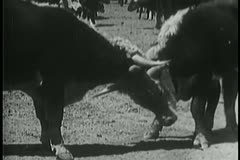 Two cows butting heads Stock Footage