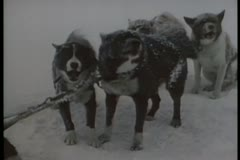 Barking dogs on  Antarctic expedition Stock Footage