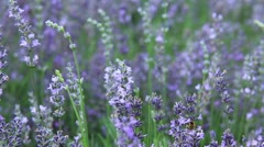 Lavender field with camera motion (lavandula officinalis) Stock Footage