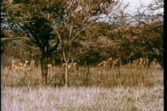 Herd of antelope in Africa Stock Footage