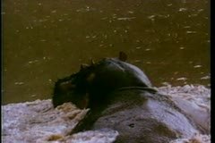 Rear view of hippo swimming in river - stock footage