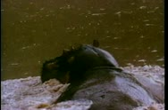 Rear view of hippo swimming in river Stock Footage