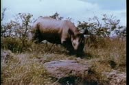 Stock Video Footage of Rhino running through the wilds of Africa