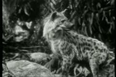 Alert hyena in jungle Stock Footage
