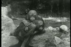 Two embracing orangutans sitting on rocks Stock Footage