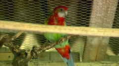 Rosella 30 fps 02 Stock Footage