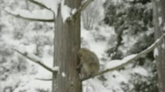 Snow monkey climbing a tree to go to sleep, Jigokudani, Nagano, Japan. Stock Footage