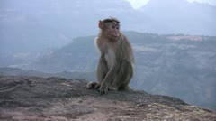 Monkey playing in India Stock Footage